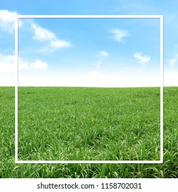 white frame line on sugarcane field landscape background for banner, square frame white on sugar cane plantation, white frame on sugarcane tree and blue sky clear and copy space for advertising banner