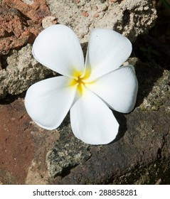 White flowers meaning images stock photos vectors shutterstock white frangipani flower on rough stone backgrund in sri lanka asia mightylinksfo