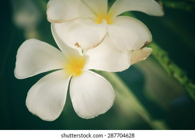 White frangipani flower on tree