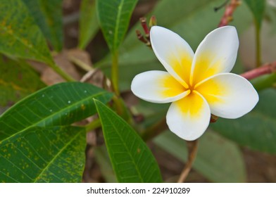 White frangipani flowers is blooming in the early morning.
