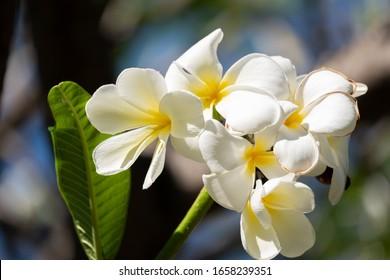 The white frangipani with leaves. White plumeria.Plumeria flowers - White plumeria on the plumeria tree.
