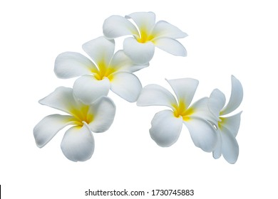 white frangipani or plumeria flowers isolated on white background with clipping path
