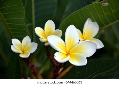 White frangipani tropical flower blooming on tree. Plumeria spa flower. Beautiful sweet yellow pink orange and white flower and fresh green leaves.