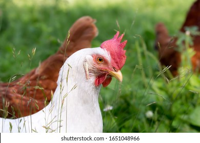 A white, free-range Sapphire, or Super White, chicken with bright red comb and wattles, white ears and a fierce stare. This hen lays blue eggs. Many Rhode Island Red chickens in the background.