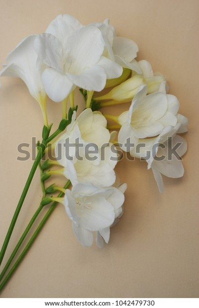 White Freesia Bunch of Flowers Isoalted on Ivory Neutral Background with Copy Space. Top View. Summer, Spring, Wedding Bouquet