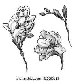 White freesia exotic flower blossom. Botanical retro vintage hand drawn watercolor black and white monochrome illustration set for wedding invitation, card, print, pattern, design. Japanese style.