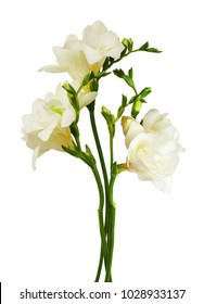 White freesia flowers and buds isolated on white background