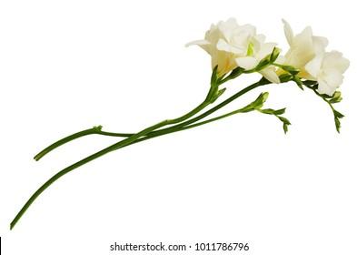 White freesia flowers isolated on white background