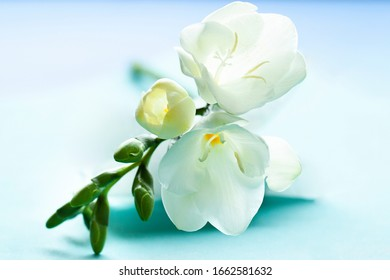White  Freesia flowers on the soft blue background close up. Floral  spring abstract macro