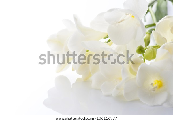white freesia on white background