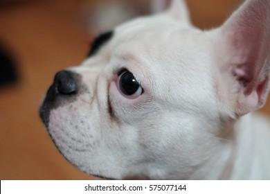 White french bulldog head