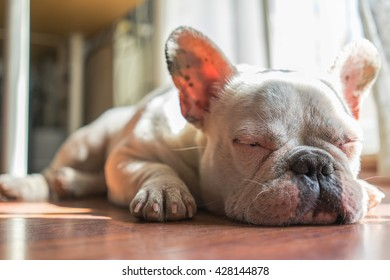 A white French Bulldog Puppy is sleeping, lying on the wooden floor.