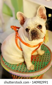 White french bulldog sitting in a chair