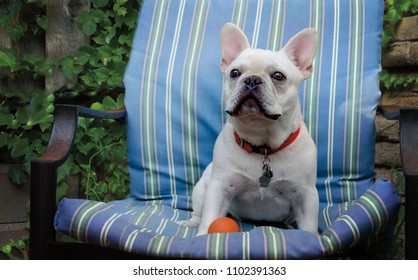 A white French Bulldog sitting on a striped lawn chair