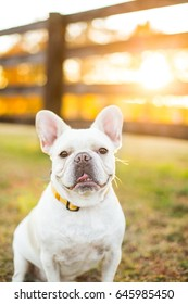 White French Bulldog smiles on a farm during fall sunset