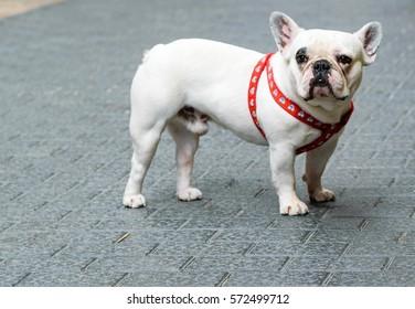d6c0d048c180 white french bulldog in the street