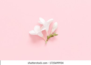 White fresia flower on a light pink  background top view