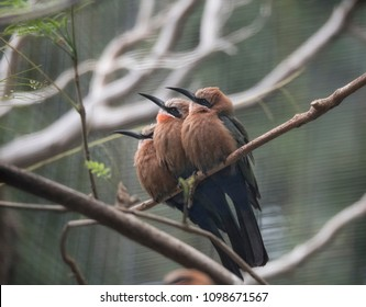 White Fronted Bee-eater Trio of birds