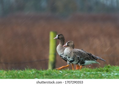 White fronted geese walking in a winter meadow