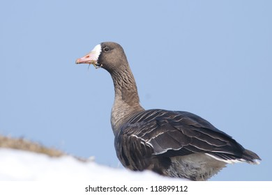 White Fronted Goose in winter