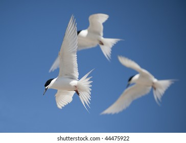 White Fronted Tern (sterna striata) at St Kilda Beach, Dunedin, New Zealand