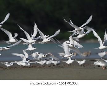 White Fronted Terns in Flight, Manawatu Estuary, Foxton Beach, New Zealand