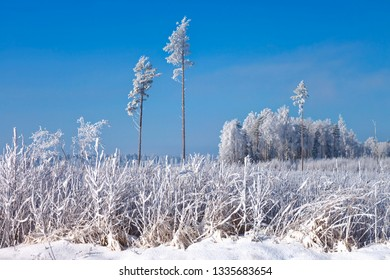 White frost on trees and grass in cold and  cloudless winter day.