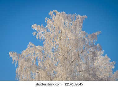 white frozen birch and clear blue sky