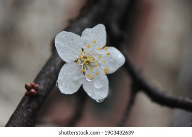 White Fruit tree flower, Wet