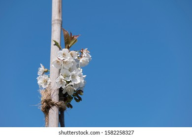 White fruit tree leaves and blossoms tied to bamboo stick with blue sky background