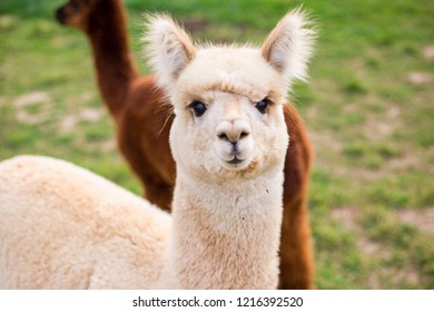 White funny alpaca looking at the camera on green field