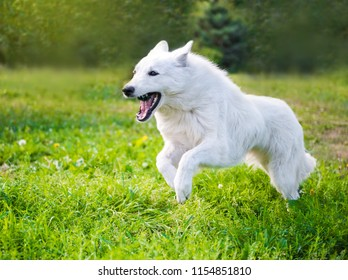 White funny beautiful fluffy Swiss Shepherd dog in motion  is running in green grass