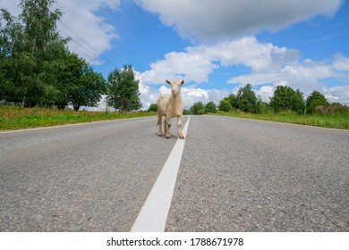 White funny goat stands in the middle of the road with a dividing strip against the background of a bright blue sky with clouds, trees and grass.