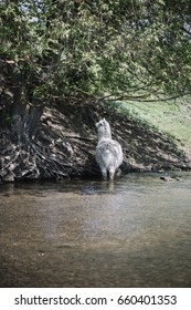 White furry Alpaca walking in the river on a hot sunny day