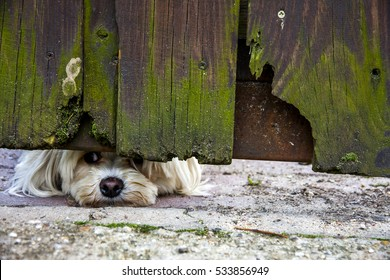 white furry dog peeping though from under the garden fence