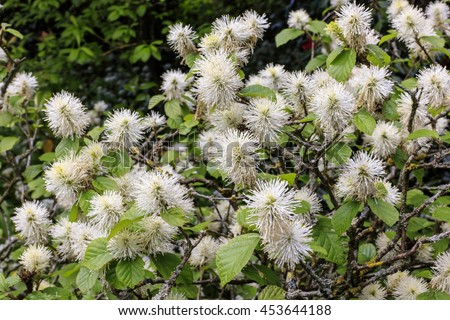 White furry pompom like flowering shrub stock photo edit now white furry pompom like flowering shrub in a spring garden mightylinksfo