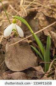 White Galanthus (snowdrops)  in garden  in spring day on blurred background.