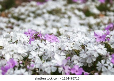 White garden bed flowers on a blurred background at the Spring Festival at Mount Tomah Botanic Garden in the Blue Mountains, New South Wales, Australia.