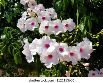 White garden bluebells