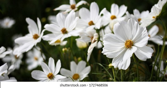 White garden cosmos flower field on a sunny day with defocused space for copy