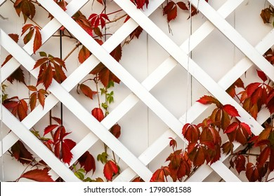 White garden large wooden lattice with leaves of red wild grapes.Climbing plant on the wall in the home garden.Space for text.Copy space