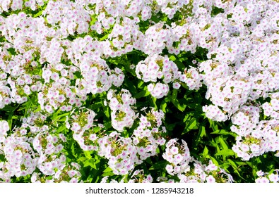White garden Phlox flowers (Phlox paniculata), summer background. Floral pattern of white flowers blooming in June. Beautiful vivid summer white flowers background - colorful phlox petals & leaves