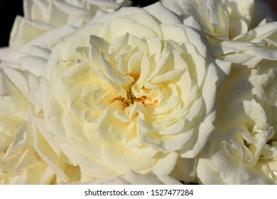 """White garden roses """"Alabaster"""" vintage autumn photo."""
