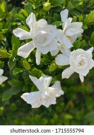 White gardenia bush in full bloom