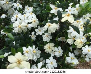 White Gardenia Evergreen