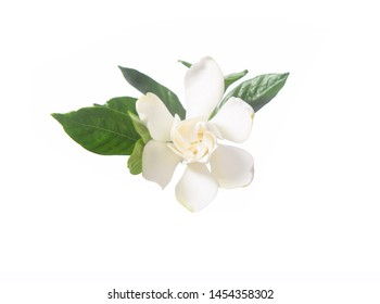 White gardenia flower blooming  on white background