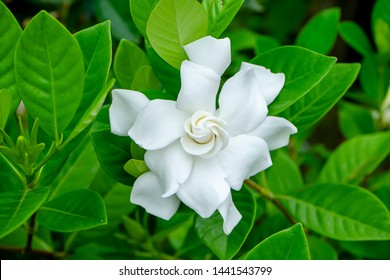 White Gardenia flower or Cape Jasmine (Gardenia jasminoides)