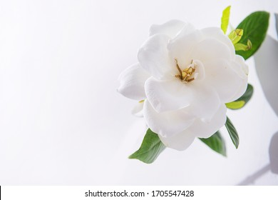 white gardenia flowers isolated  with shadow