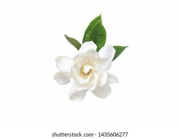white gardenia with leaves on white background