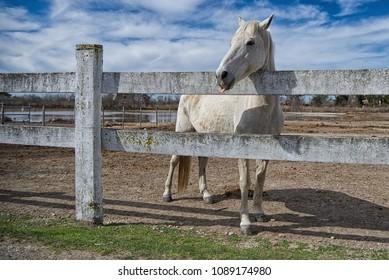 White Gardian horse in Saintes Maries de la Mer - Camargue - Provence - France